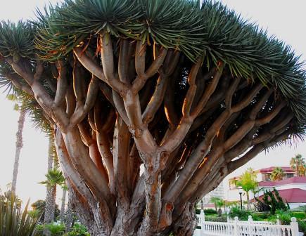 La Orotava banana tree