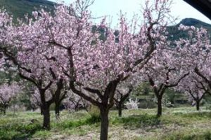 The almond blossom in the Vall de Lliber
